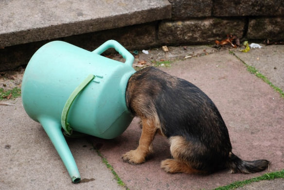 dog-with-its-head-stuck-in-a-watering-can